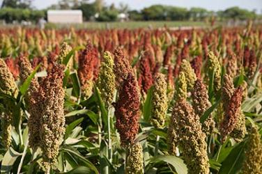 sorghum growing in a field