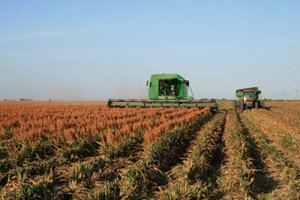 Red sorghum being harvested.
