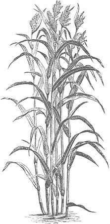 Old illustration of some sorghum stalks.